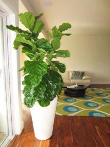 ficus-species-helping-plants-acclimate