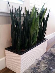 houseplant-snake