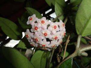 hoya-bella-bloom