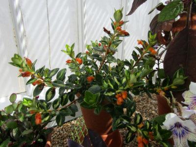 goldfish-plant-bloom