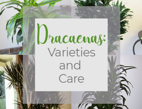 Dracaenas Varieties and Care
