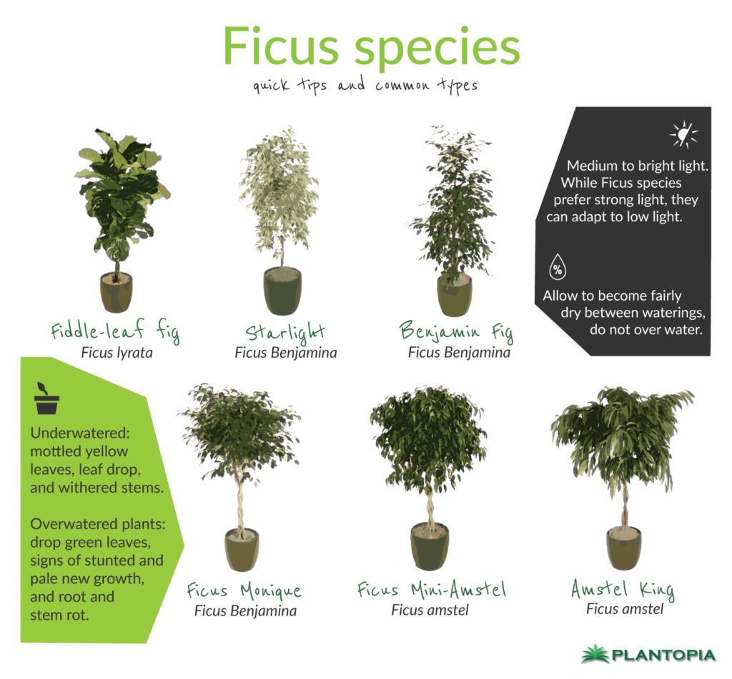 ficus-facts-and-care